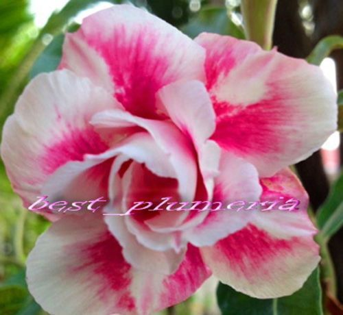 "20 SEEDS -  Fresh Rare "" Prety Girl "" Adenium Obesum Seeds - Bonsai Desert Rose Flower Plant Seeds * Free Shipping"