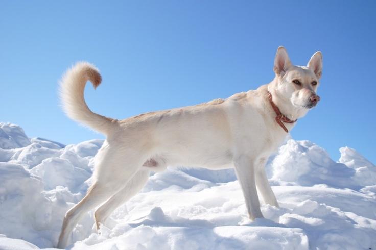 Proud White German Shepard King of the Snow
