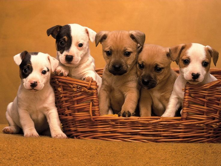Jack Russel puppies I will have you one day :)