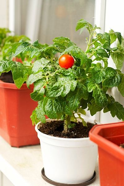 Easy Steps to Grow Your Own Tomatoes | Growing an abundant crop of your own delicious tomatoes is easy if you keep the following planting, cultivation and harvesting tips in mind. #growtomatoes