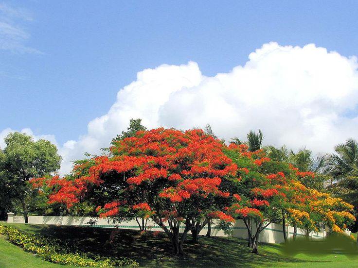 155 besten Flamboyanes de mi isla Bilder auf Pinterest | Natur ...