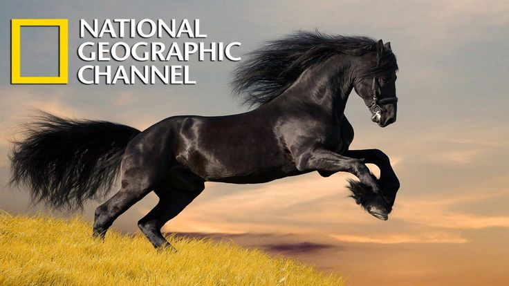 America's Wild Horses Documentary - National Geographic WILD HD