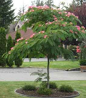 "Albizia Julibrissin  - also comes in ""summer chocolate"" variety  (sold at Duncan nursery!)"