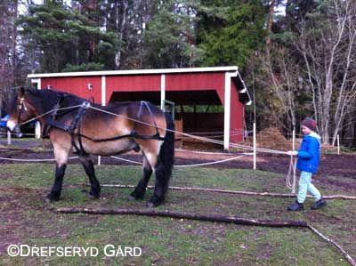 North Swedish draft horse Sigge is educating young coachman to be