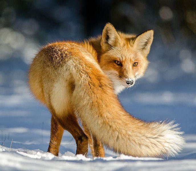 belle-faune: Over The Tail par Darion Jackman