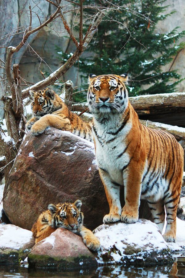 Tiger Family by Ricardo Zech on 500px