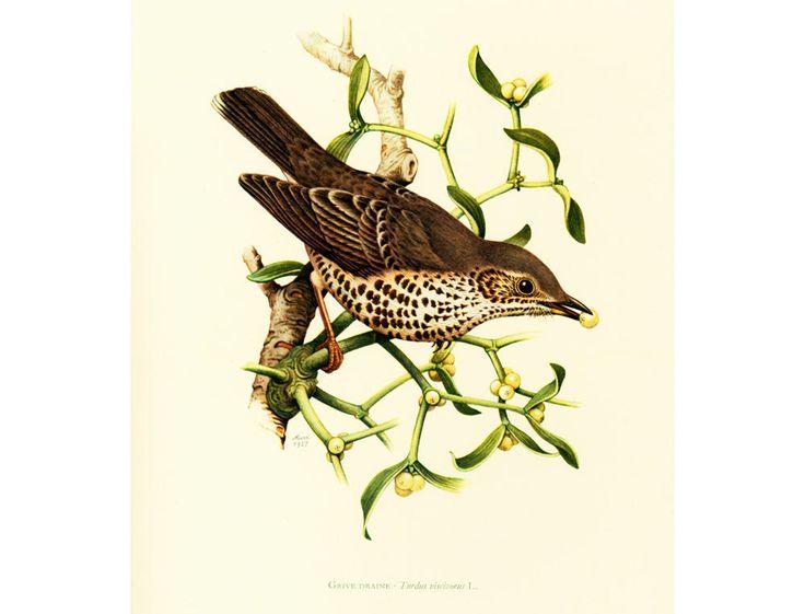 1969 Grive Draine. Turdus viscivorus. illustration oiseau, déco vintage, image, gravure Ornithologie de la boutique sofrenchvintage sur Etsy