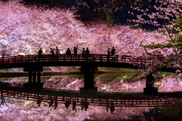夜桜と影が描く夢のような世界 弘前公園の桜があまりに美しい    335   1350  2017年4月9日 15時1分 grape  ソフトウェアエンジニア・写真家として活動するnull(@NrNrNr7)さんが2016年に投稿した夜桜の写真が、1年後の桜の季節に再び注目されています。    青森県弘前市にある弘前公園で撮影された写真です。    ライトアップされた夜桜と、それを見る人々。橋と人のシルエットがまるで影絵のよう。