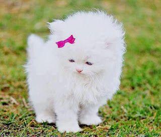 Pequeño gato blanco con lazo rosa