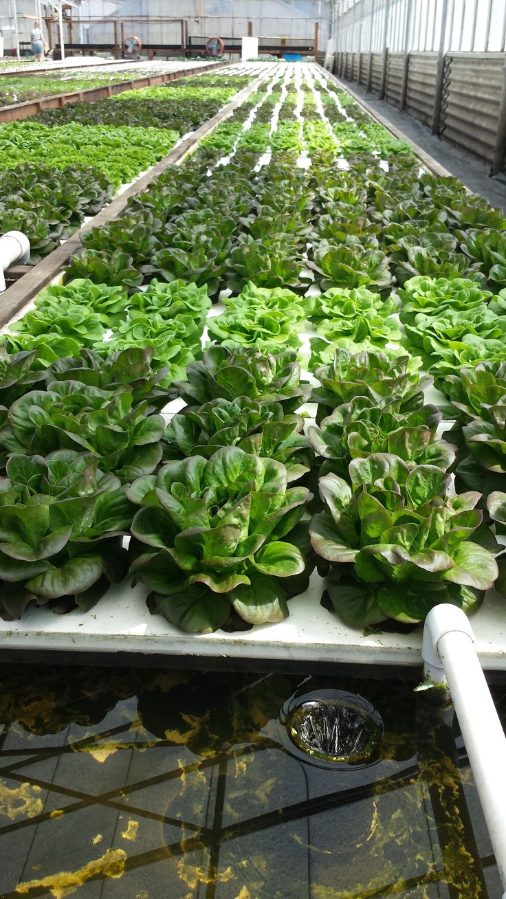 Various varieties of lettuce in the DWC grow beds at Ouroboros Aquaponic Farm in Half Moon Bay, CA. Seedlings are set in floating rafts at the far end of the DWC and move forward as mature plants are harvested at the near end. 4 to 8 weeks from seedling to harvest, in continuous harvest all year round.
