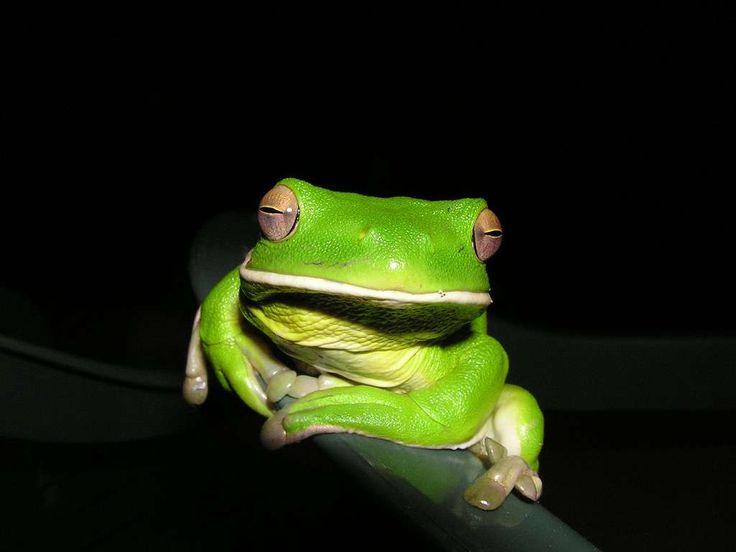 La rainette de White, une grenouille qui aime l'humidité