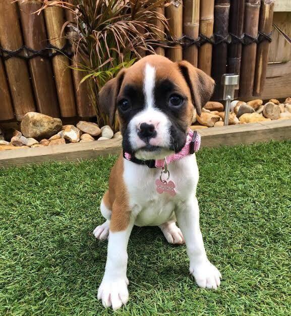 Boxer Puppies For Sale European Akc Boxer Puppies For Adoption In 2020 Boxer Puppies For Sale Boxer Puppies For Adoption Boxer Puppies