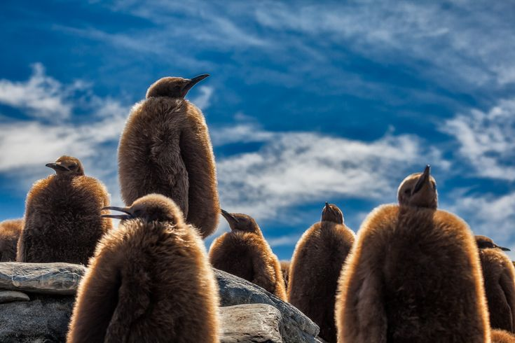 King Penguin chicks, covered in fur, make for a dramatic image against a beautiful, blue sky on a summer's day on South Georgia Island.
