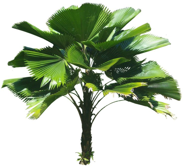 Image result for licuala palm