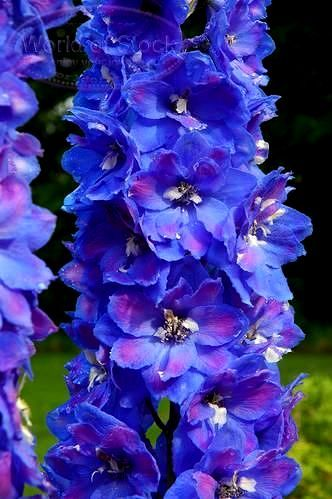 blue delphinium with dark bees