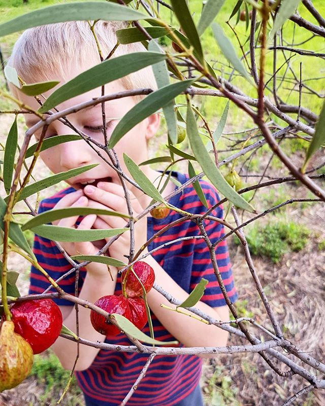 #grandson helping with #Quandong #harvest ...... what a good boy