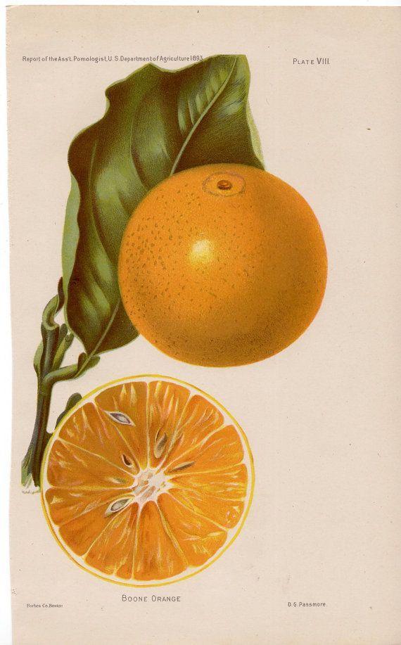 1893 oranges original antique botanical fruit by antiqueprintstore