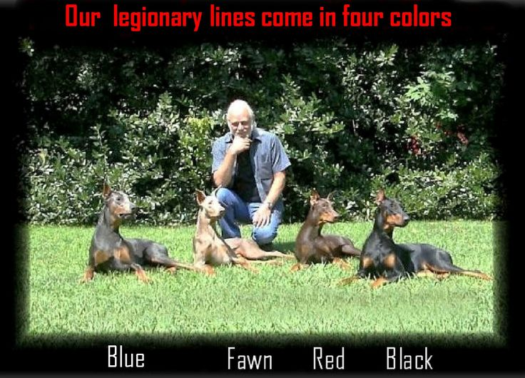 Doberman Breeder, Trained Dobermans for Sale, American Bred Dobermans | Dandridge, TN