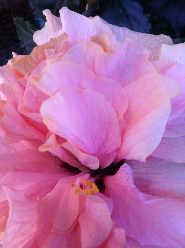 Ibiscus doppio rosa