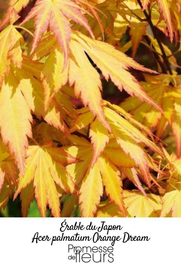 Les 44 meilleures images du tableau l 39 automne au jardin sur pinterest arbustes automne et - Erable du japon orange dream ...