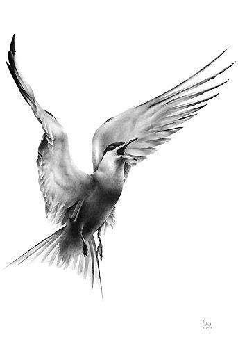 Arctic Tern Bird Drawing by bird artist Phil Mumby