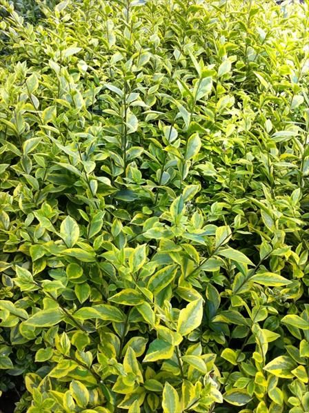 Golden Privet - Ligustrum ovalifolium aureum (Bare Root)