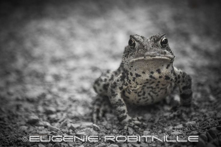 Frog looking at camera on ground