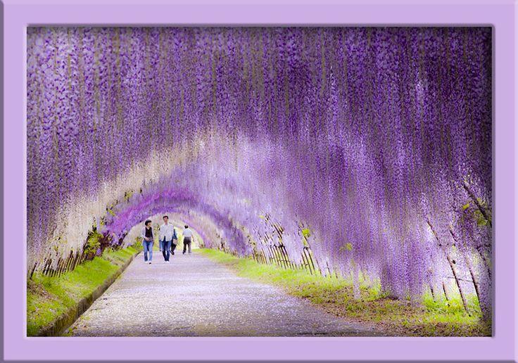 jardin botanique de Kawachi-Fuji (Kitakyushu - JAPON)