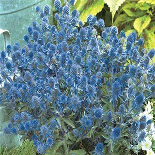 Little Blue Wonder Sea Holly: Blue Boys, Blue Flowers, Wonder Sea, Blue Gardens, Little Blue, Blue Purple Whit Gardens, Blue Wonder, Sea Holly, Gardens Border