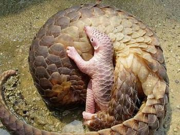 Pangolin, native to Africa, tongue 27 inches long for eating termites, no teeth, and a prehensile tail.