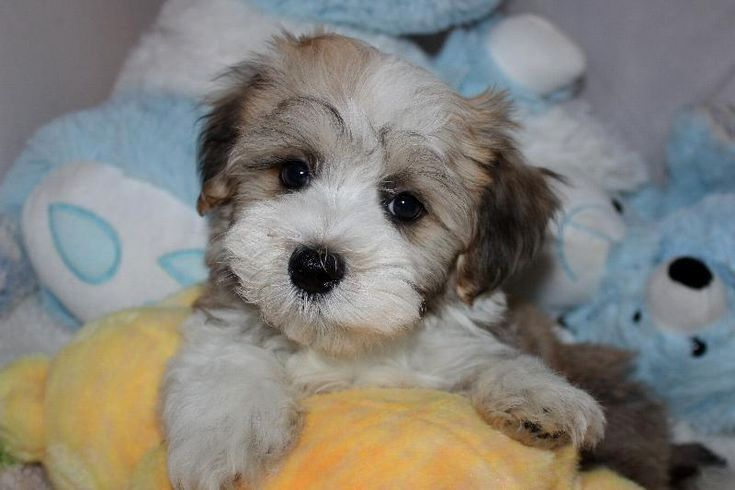 Pin On Havanese