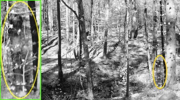 Georgia - Looking at the wooded panorama, the visage of a person standing between the forked trees really stands out. Notice the shadows of trees in the photo are cast at an angle toward the right. The lines of the apparition do not follow this same pattern, indicating it was not caused by forest shadows and sunlight.