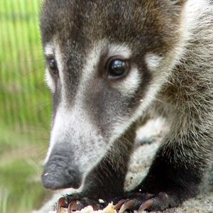 11 Best Coati Or Ring Tailed Coati Nasua Nasua Quati Images On