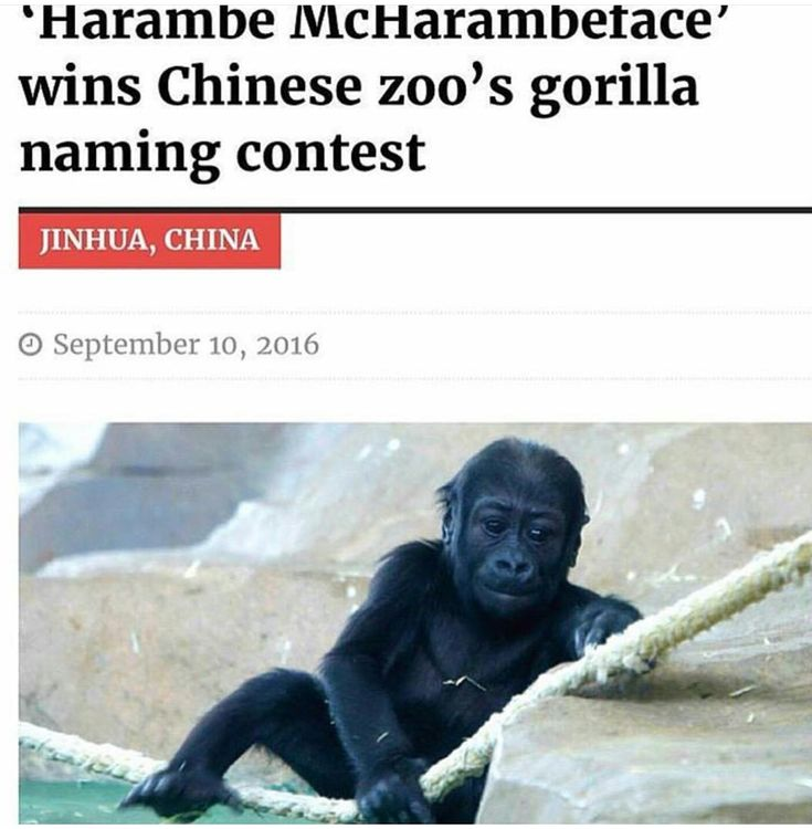 Harambe mcharambeface wins gorilla naming contest