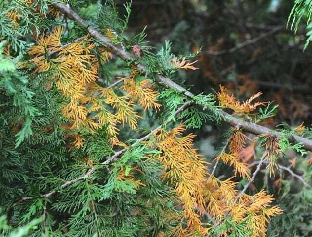 When Inner Conifer Needles Turn Yellow Or Brown Green Giant Arborvitae Thuja Green Giant Evergreen Bush