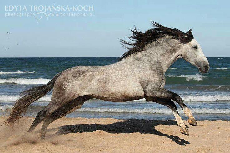 dapple grey horse running freely i want that horse