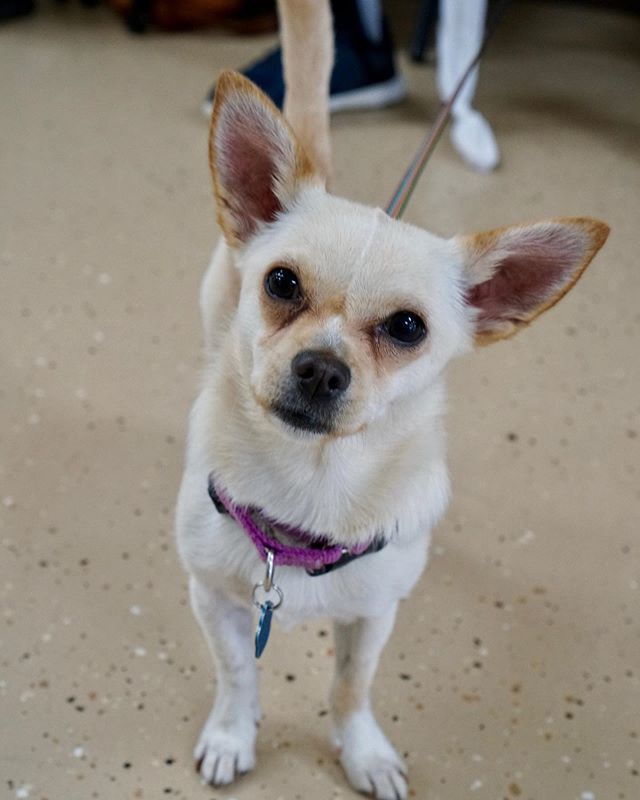 Busy Is A Sweet Chihuahua Mix And A Perfect Lap Dog She S A