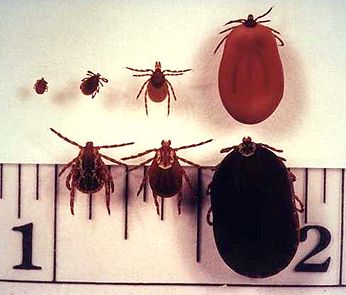 deer ticks vs dog ticks - deer tick top row BAD, dog tick bottom row (with white dot) will not transmit lime disease!