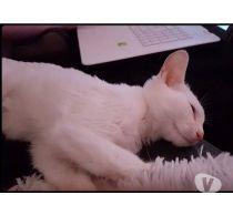 Nom : Maïa Type/Race : Européen (Non LOOF) Âge : née le 01/02/2016 Sexe : Femelle Histoire : Jetée du balcon par son propriétaire. Caractère/Description : Elle est très joueuse et très curieuse. Maïa aime bien dormir sur sa FA. Elle est hyper sociable et pas craintive du tout. Elle s'est tout de suite adaptée aux autres chats de sa FA. Ok Enfants : OUI Ok Chiens : OUI Ok Chats : OUI FA : Loos Frais d'adoption : 100 euros testée identifiée stérilisée