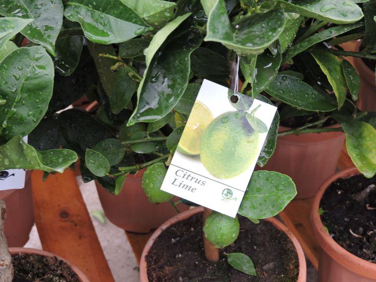 Lime in fruit, 50cm+ height, 2ltr decopot