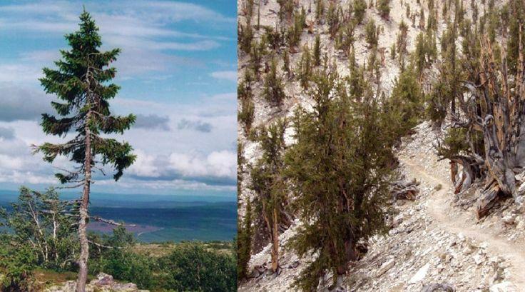 old-swedish-tree,oldest tress