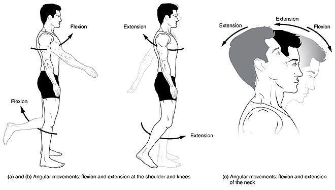 39+ Thigh flexion vs extension ideas