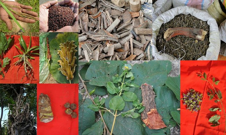 Medicinal Rice based Tribal Medicines for Diabetes Complications and Metabolic Disorders (TH Group-619) from Pankaj Oudhia's Medicinal Plant Database. Tribal ways of Healing: Traditional Medicines for Modern Diseases  . #Tribal  #Biodiversity  #Vedic