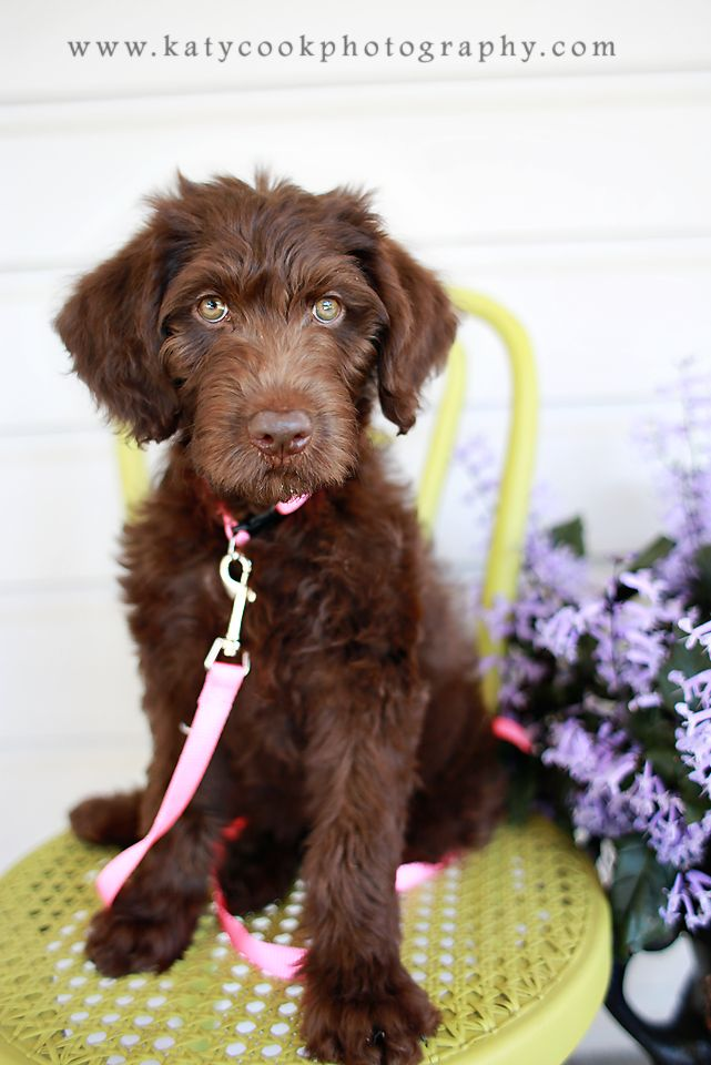 13 week old Chocolate Labradoodle.