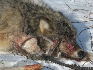 Stop Torturing Wolves and other Wildlife. Join the campaign and make a difference.