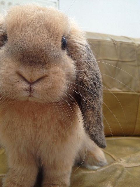 Adorable little lop bunny.