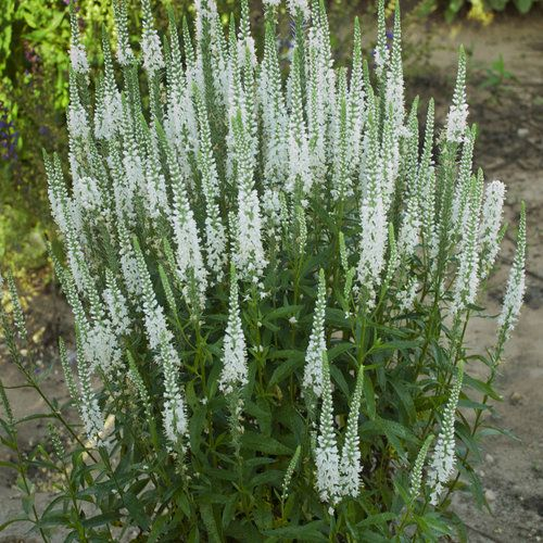 Magic Show® 'White Wands' - Spike Speedwell - Veronica hybrid