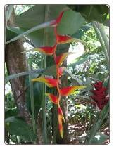 Heliconia Platystachys Seeds