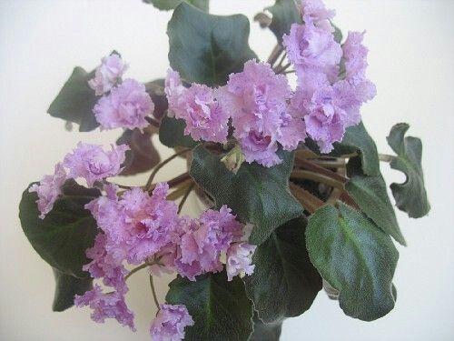 РС-Ералаш (С.Репкина).   Трейлер. Махровые светло-розовые цветы с синим фантази и волнистым краем. Лист тёмно-зелёный. Цветение обильное.