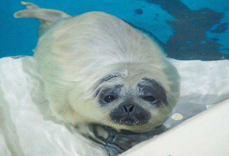 ワモンアザラシの赤ちゃん 水族館展示   鴨川シーワールド-東京・千葉の水族館テーマパーク